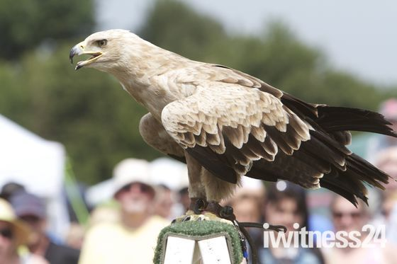 A tawny eagle at Chelsfield Fete