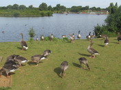 canda geese FAIRLOP WATERS