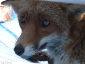 Urban Fox Close Up