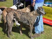 Greyhounds at Woofbridge in Woodbridge