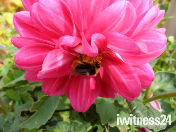 Sleepy bumble bee