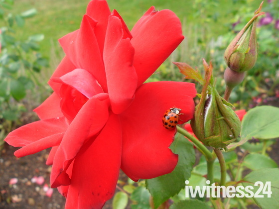 Two natural beauties, Ladybird and rose