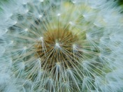 A bee's view of a dandelion