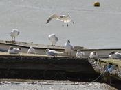 Gull-tastic! Swooping Gull
