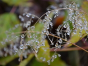 Early morning dew drops or glass beads?