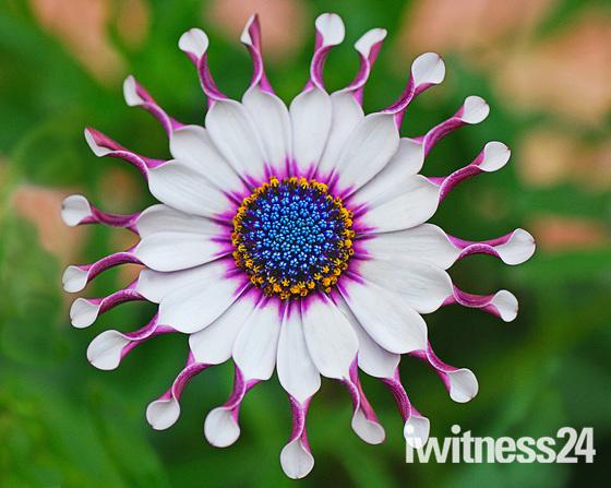 Sunny 'Philip' Osteospermum