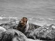 Seals at Horsea