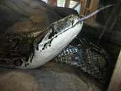 Python at Colchester zoo