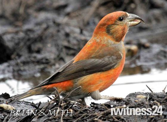 MALE CROSSBILL HOLLESLEY  2012
