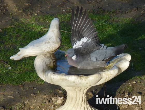 pigeon bathing,