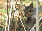 Grey Squirell, Stoke by clare