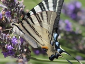 Another beautiful butterfly