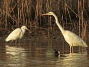 Great White Egret at Alton Water