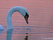 Beautiful Sunset and Swan