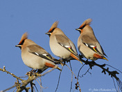 Waxwing Galore!!!!