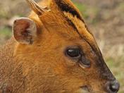 Very Close Muntjac Deer
