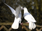 Two kissing Doves
