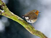 Christmas Robin