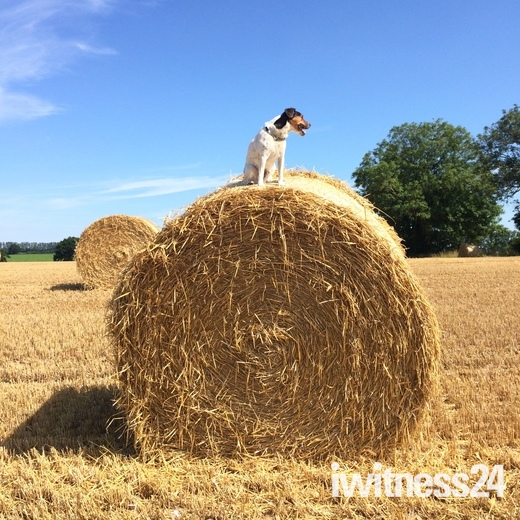 Strumpshaw hay bale & dog