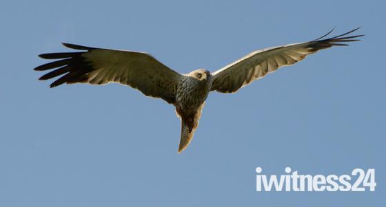 Marsh Harrier, Hickling Broad