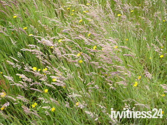 Breezy Grasses