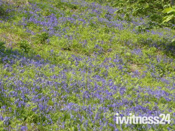 Yes More Bluebell Photos