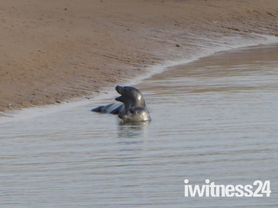 Seal at Brancaster Beach