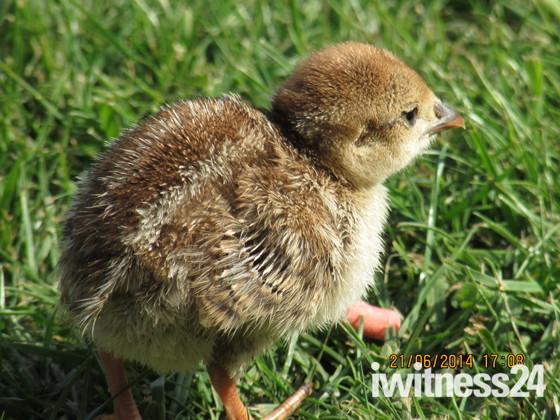 Baby Partridge