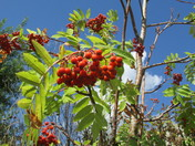 Red berries, blue sky