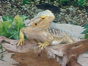 Our Bearded Dragon