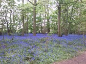 Bluebell Woods,Bradwell,Great Yarmouth