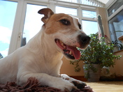 Jasper our Jack Russell