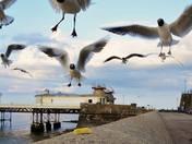 In flight Seagulls