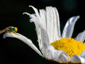 Bug on a Petall
