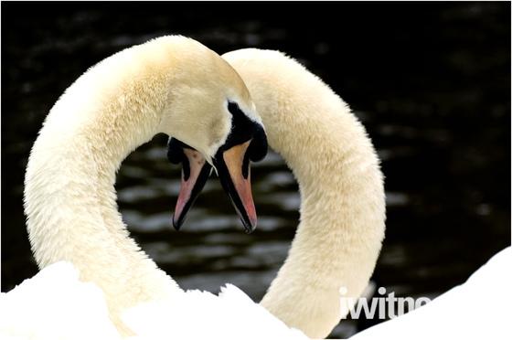 Swans symbol of love