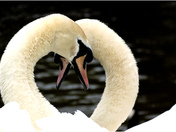 Swans symbol of love