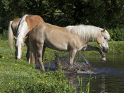 This Haflinger pony found a way to keep cool.  Beauty and brains.
