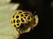 22 spot yellow ladybird