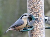 Winter Robins in Norfolk Other birds Suffolk