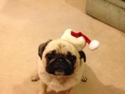 Fenton the Pug