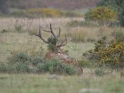 Red Deer rut (part 1)