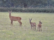 Roe deer with her Kids!
