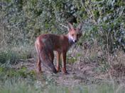 Fox cub !