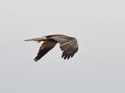 Marsh Harrier in flight!