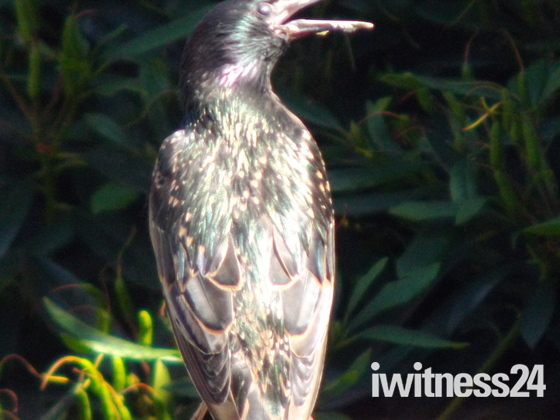 STARLING  SQUAWKING