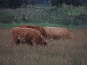 Highland Cattle in Strumpshaw Meadow Grass Cows