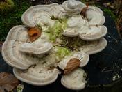 Fungi/Polypores