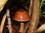 Boletus Badius   ( I believe) Fungi