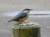 British Nuthatch and friends