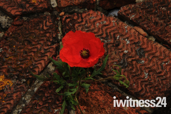Poppy growing between bricks on a gate pillar